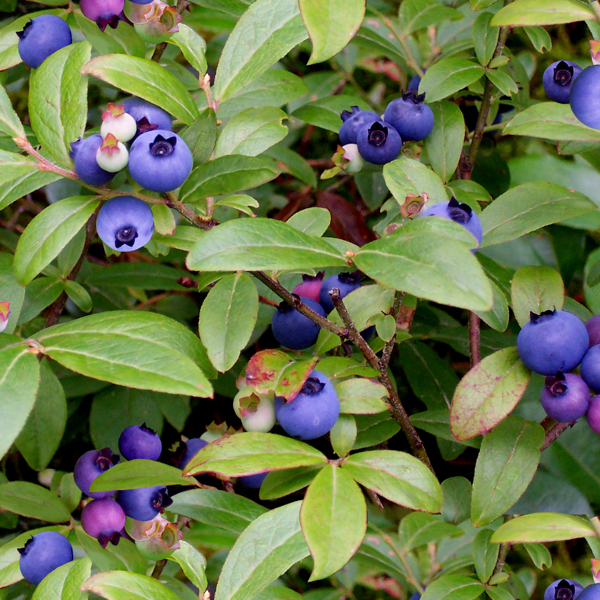 PŘEDOBJEDNÁVKA - Berry Good Wild Blueberries Green
